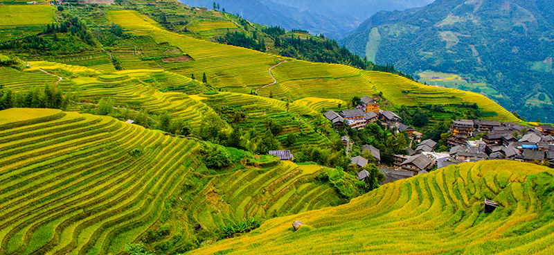 longji rice terraces in autumn