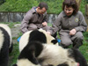 Giant Pandas Volunteer Program