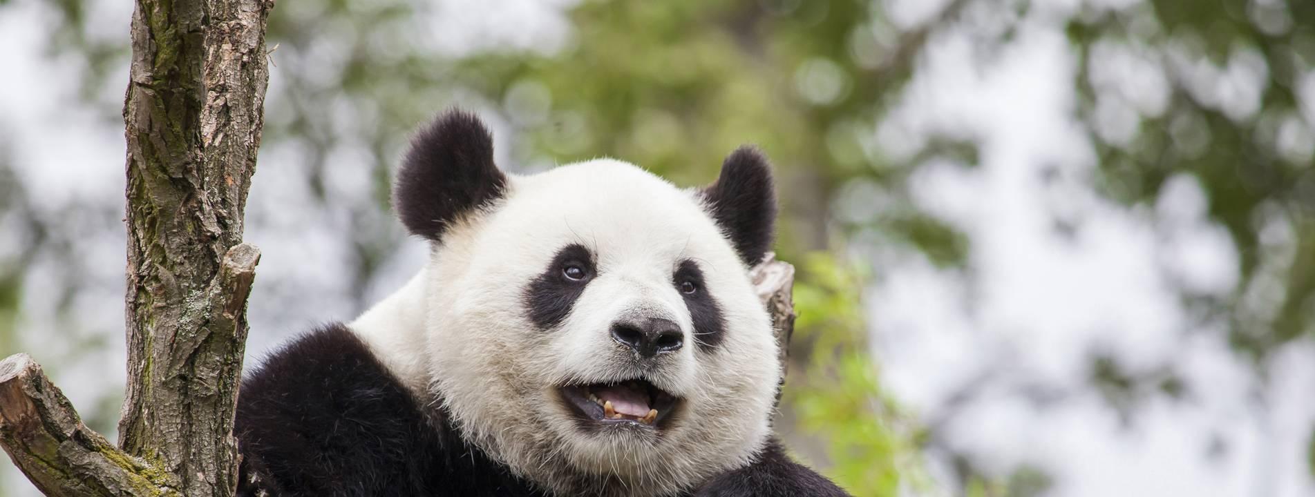 Panda tours 2015
