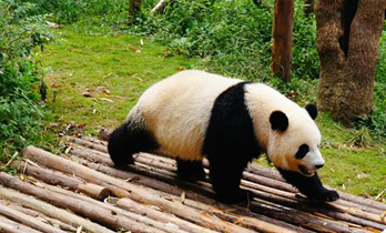 giant panda in Ocean Park Hong Kong