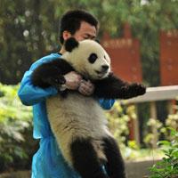 Donnez-leur le biberon et nourrissez-les avec des pousses de bambous