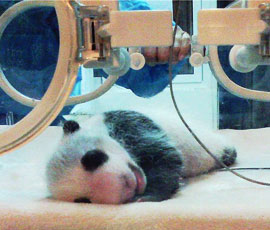 a panda baby is playing in the garden