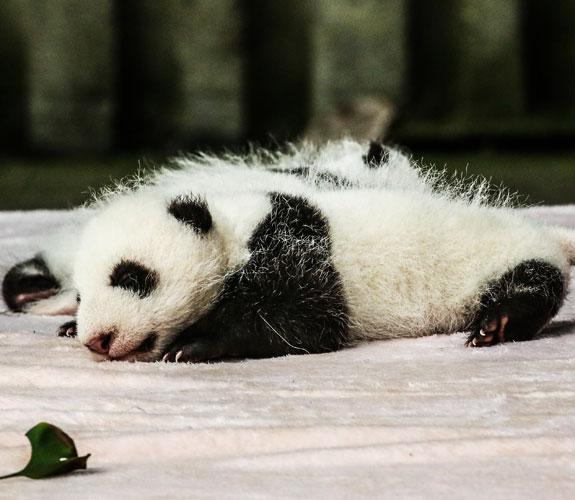 panda baby in the incubator