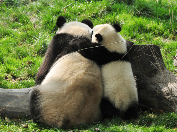 Mother panda and its baby