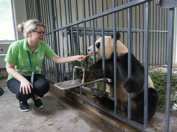 feeding panda