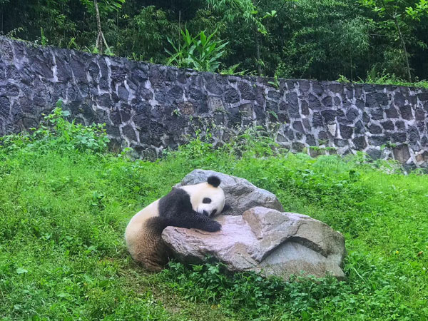 Dujiangyan pandas