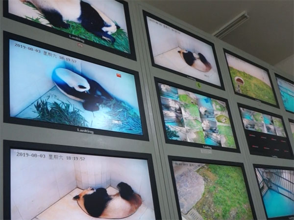 Observe pandas' acts in the stuff-only control room