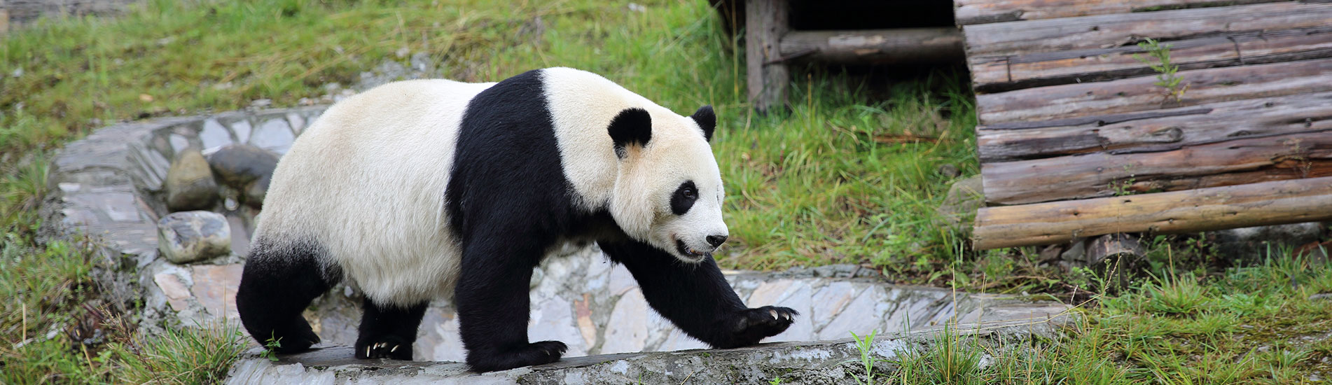 panda in Wolong