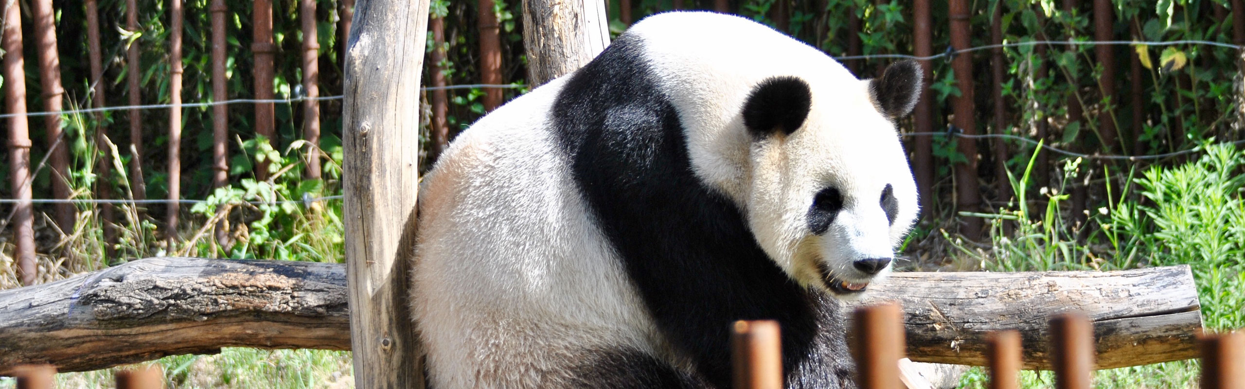 Giant Panda and Giant Buddha Tour