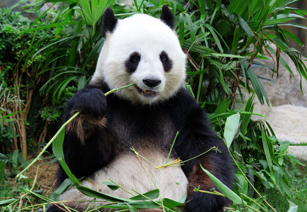 Chengdu panda and sichuan cuisine tour