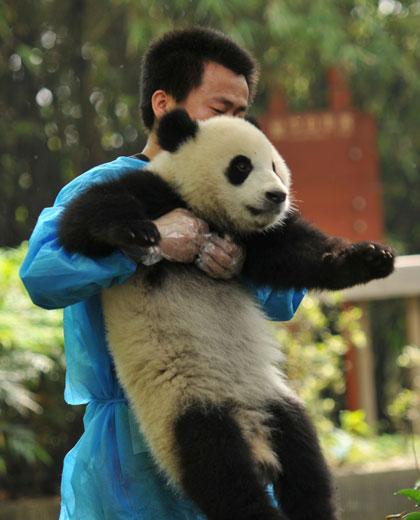 baby panda keeper tour