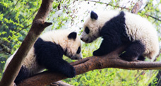 Two cute pandas on Tree