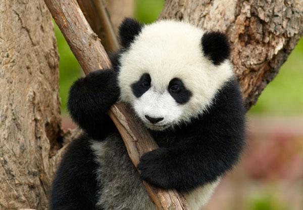 China tours to visit pandas in 2020