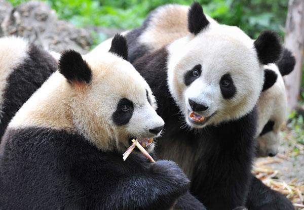 private china tour to visit pandas