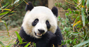 The giant panda in Chengdu