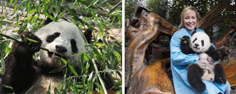 The giant panda in Dujiangyan Panda Base