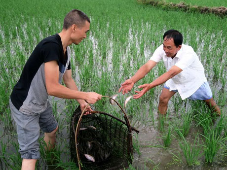 Catch fishes in Organic Rice Field