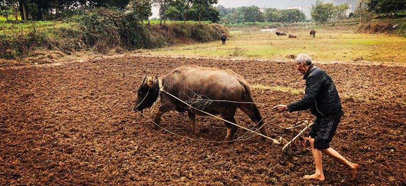 plowing with a water buffalo