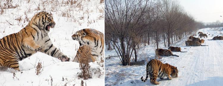 Siberian Tigers Park