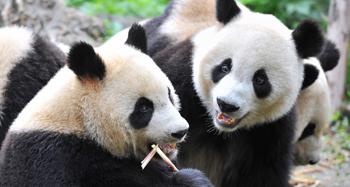 See pandas in Chengdu