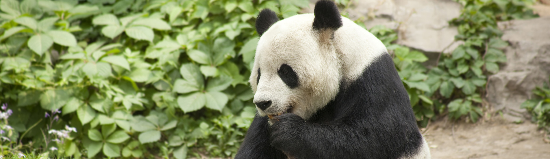 the giant panda eating bamboo