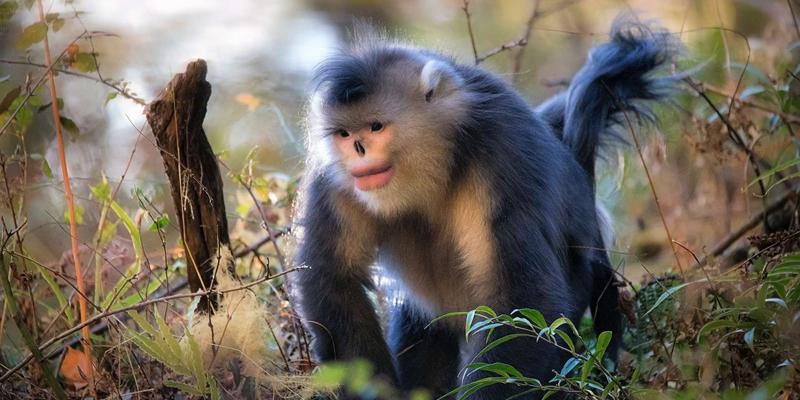 The Yunnan Golden Monkey