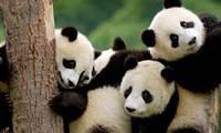 Panda Experience in Chengdu