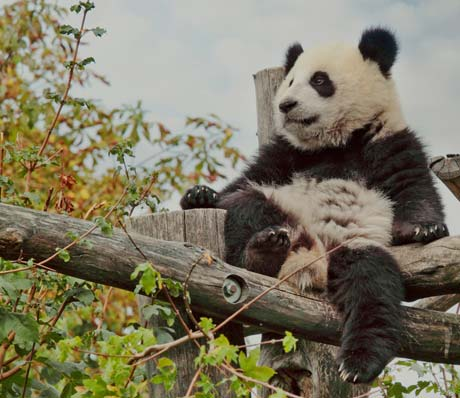 The hometown of giant pandas, giant pandas in Chengdu