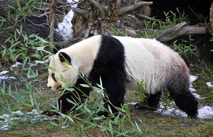 Wild Pandas in Qinling