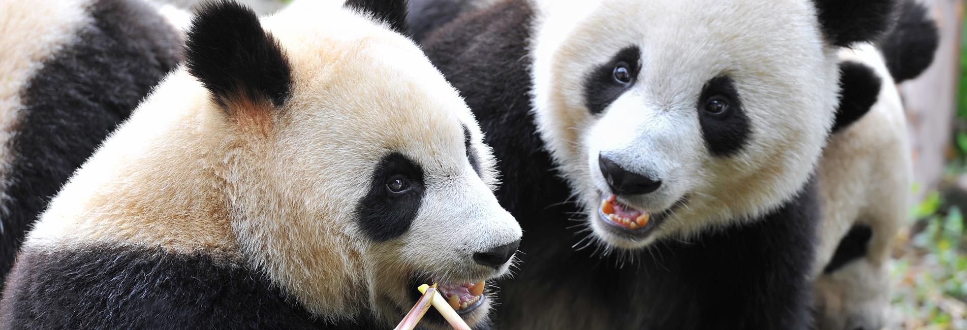 Волонтерские программы к большим пандам