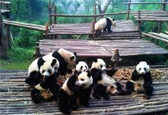 Panda Breeding Base