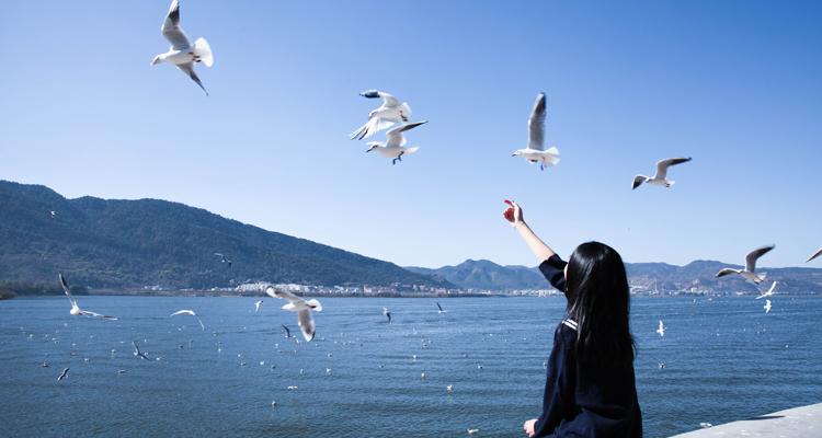 Black-headed Gulls