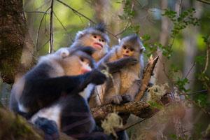 Yunnan Golden Monkeys at the National Park
