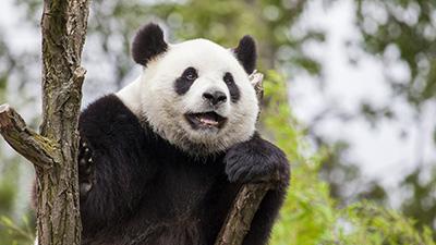 Les pandas Géants