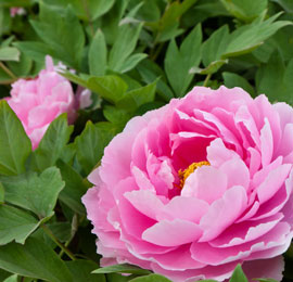 China April destination, the peony fair in Luoyang