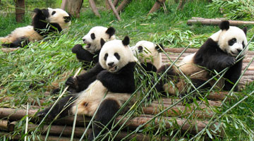 Yangtze River Cruise and Panda Family Tour