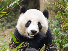 Большие Панды