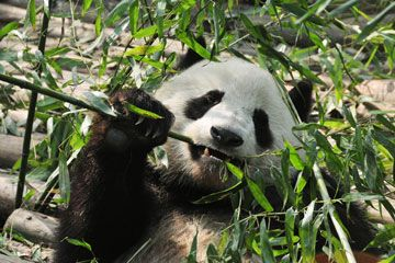 China's Top Places to See Giant Pandas