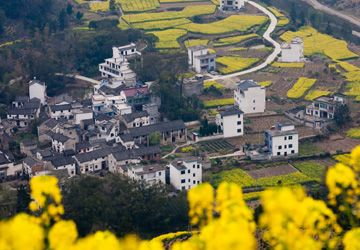 rape flower in Wuyuan
